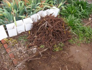 Freshly-dug madder roots