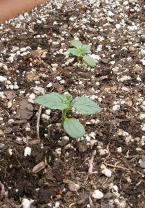 Turnsole seedlings